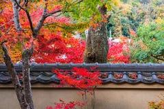 Fall foliage leafs surround old tree, Arashiyama Stock Photos