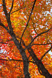 Fall foliage colors Stock Photography