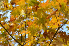 Fall foliage of colors Royalty Free Stock Photo