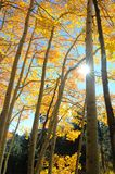 The sun bursts from behind a birch tree trunk. stock photography