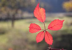 Fall foliage details - vivid red leaves Stock Photography
