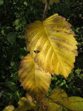 Fall foliage - Elm leaves. Fall foliage - golden yellow elm leaves - Moose Jaw Royalty Free Stock Images