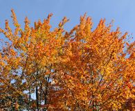 Fall foliage. Tree Quebec province Canada royalty free stock photography