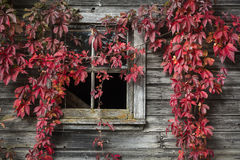 Fall foliage. In front of an old barn, Quebec, Canada stock photo