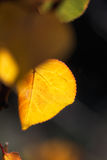 Fall Foliage Golden Leaf Stock Images