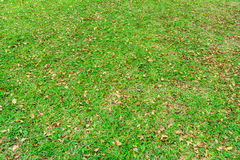 Fall foliage on green lawn Royalty Free Stock Image