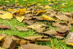Fall foliage on green lawn Stock Images