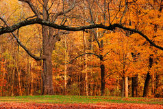 Fall foliage II. Photo of maple, pine, and oak trees in southern Ohio during peak fall foliage Stock Image