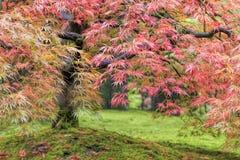 Fall Foliage of Japanese Maple Tree Stock Photography