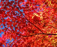 Fall Foliage. Leaves and branches Stock Images