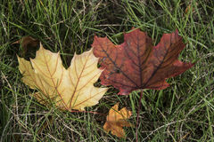 Fall foliage. Fall leaves resting on the grass Stock Images