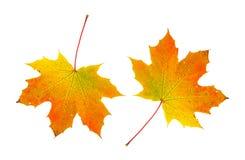 Fall foliage maple leaves Stock Photos