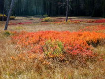 Fall foliage in meadow. Bright reds, oranges, golds, and yellows accent the foliage in a high mountain meadow off of the Old McKenzie Highway in Western Oregon royalty free stock photos
