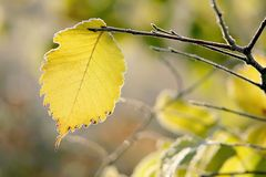 Fall foliage with morning frost Royalty Free Stock Images