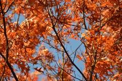 Orange foliage in treetops. Orange foliage on tree branches against blue skies on sunny day Royalty Free Stock Photo