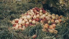 Fall foliage and red apples near the hill. Apple picking, thanksgiving concept. Oak leaves, planks, raining, autumn, fall foliage royalty free stock images