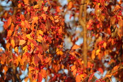 Fall foliage with red berries. Orange fall foliage with ornamental crabapples Stock Photo