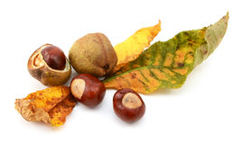 Fall foliage from a red horse chestnut with conkers Stock Photo