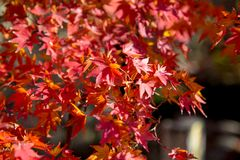 Fall Foliage of Red maple leaf leaves background royalty free stock photo