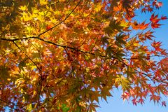 Fall Foliage of Red maple leaf leaves background stock photography