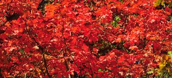 Fall Foliage on Red Maple Trees showing off their Autumn Colors royalty free stock photo