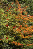 Fall foliage and red mountain ash berries in northern Maine. Royalty Free Stock Images