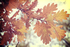 Fall foliage season background oak vintage leaf Royalty Free Stock Photo