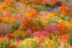 Fall Foliage. On the side of a mountain royalty free stock photos