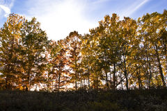 Fall foliage through sunlight near sunset Royalty Free Stock Photo