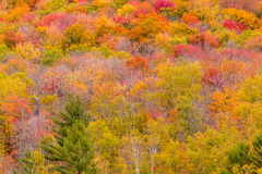 Fall Foliage tree - natural background Royalty Free Stock Photography
