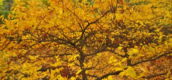 Fall foliage. Tree Quebec province Canada stock photos