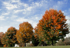 Fall Foliage Under Painted Sky. A line of trees in orange foliage beneath a textured blue sky and white clouds Stock Image
