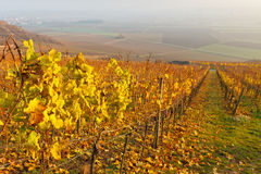 Fall Foliage in Vineyard Stock Images
