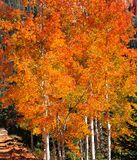 Fall Foliage on Yellow Aspen Trees showing off their Autumn Colors royalty free stock image