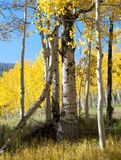 Fall Foliage on Yellow Aspen Trees showing off their Autumn Colors. Walking through the beautiful yellow leaves on aspen trees in Utah in the fall showing off royalty free stock image