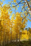 Fall Foliage on Yellow Aspen Trees showing off their Autumn Colors. Walking through the beautiful yellow leaves on aspen trees in Utah in the fall showing off stock images