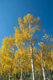 Fall Foliage on Yellow Aspen Trees showing off their Autumn Colors. Walking through the beautiful yellow leaves on aspen trees in Utah in the fall showing off stock photography