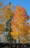 Fall Foliage on Yellow Aspen Trees showing off their Autumn Colors royalty free stock photography
