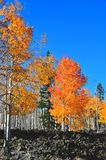 Fall Foliage on Yellow Aspen Trees showing off their Autumn Colors stock images