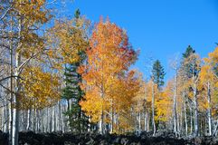 Fall Foliage on Yellow Aspen Trees showing off their Autumn Colors stock photos