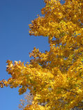 Fall foliage 6. Yellow leaves on an autumn tree Stock Images