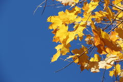 Fall Foliage. Yellow Leaves with blue sky royalty free stock image
