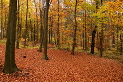 Fall forest. Stock Photography