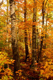Fall Forest Royalty Free Stock Photos