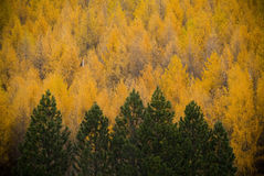 Fall Forest Royalty Free Stock Images