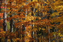 Fall forest background with orange leaves Stock Images