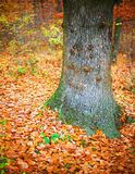 Fall forest colors. Colorful fall forest, autumn oak and beech foliage, bright, vivid colors royalty free stock image