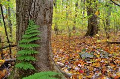 Fall forest with fern Royalty Free Stock Photos