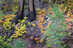 Fall Forest Floor Colored Leaves Pine Trees Stock Photo
