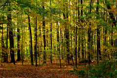 Fall forest landscape Stock Images